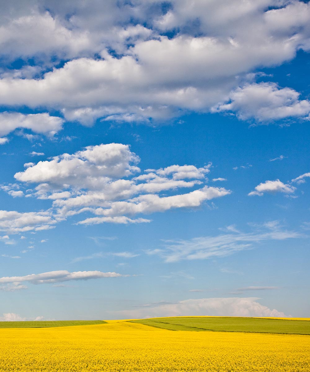 Bright blue sky with clouds over a vast yellow green grassy field.